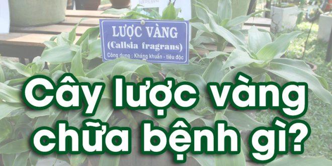 cay-luoc-vang-chua-benh-dau-dau-day